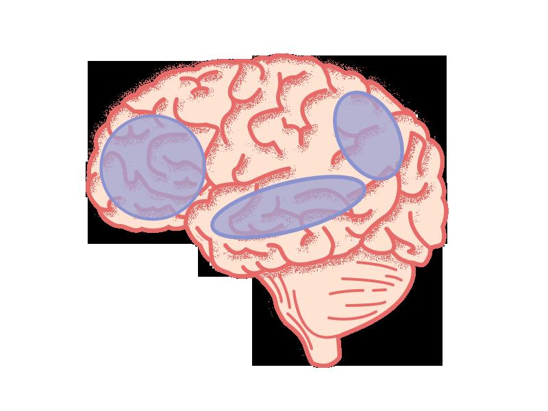 Verschillende gebieden in de hersenen vormen samen het 'sociale brein'.