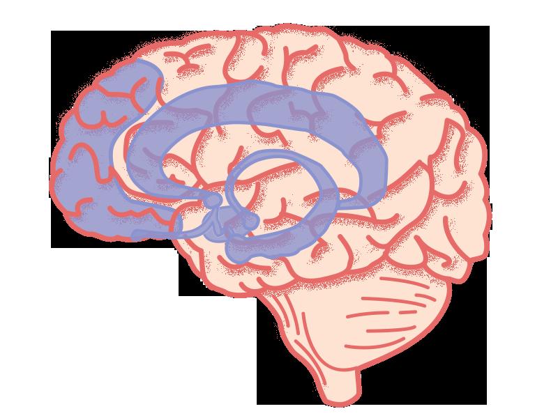 Het diepgelegen limbisch systeem en een deel van de prefrontale cortex zijn belangrijk bij leren.